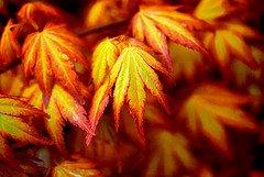 ORANGE DREAM JAPANESE MAPLE - Acer palmatum 'Orange Dream' - STUNNING ORANGE AND RED NEW SPRING GROWTH ON A DWARF JAPANESE MAPLE - 1 - YEAR TREE