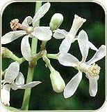Neotea Azadirachta Indica Neem Flower Powder