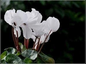 SwansGreen Multi-color Seasons perennial flower seeds cyclamen- 30 pcs free delivery