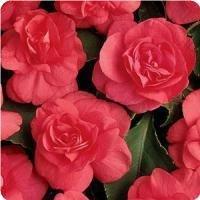 Hazzard's Seeds Impatiens Double Athena Coral Pink 100 seeds
