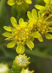Showy Goldenrod (Solidago speciosa), Seed Packet, True Native Seed