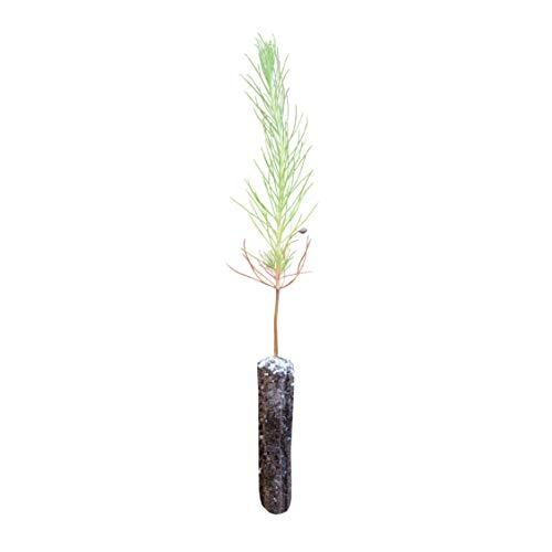 Yellow Mountain Pine   Small Tree Seedling   The Jonsteen Company