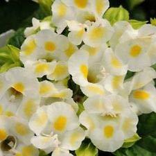 20+ Lemon Drop TORENIA Wishbone Flower Seeds/Annual