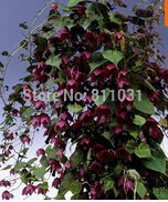 New Home Garden Plant 5 Seeds RHODOCHITON ATROSANGUINEUS PURPLE BELL VINE CLIMBER TRAILER Flower Seeds Free Shipping