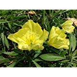 Perennial Oenothera Biennis (Common Evening-Primrose / Evening Star) Yellow Blooms 50 Seeds