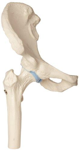 hip joint model - 8