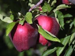 Red Delicious Dwarf Apple Tree-healthy Fruit Trees - Bare Root - 2-4 ft. -1 Each by Grower's Solution