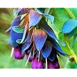 25+ CERINTHE BLUE SHRIMP PRIDE OF GIBRALTER FLOWER SEEDS/SELF SEEDING