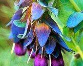 25+ CERINTHE BLUE SHRIMP PRIDE OF GIBRALTER FLOWER SEEDS/SELF SEEDING 03 Passion 1 Light