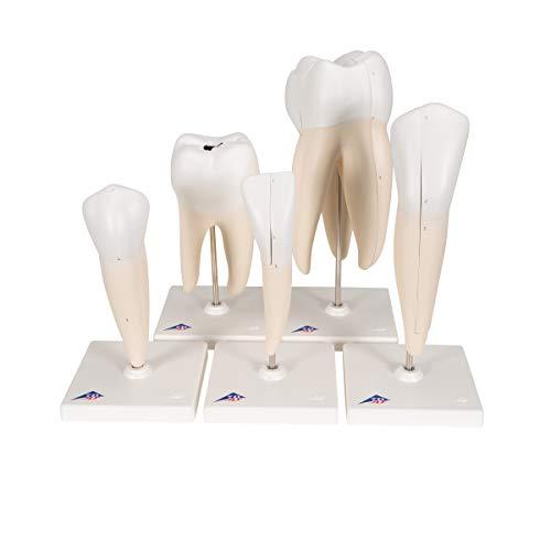 3B Scientific D10 Classic Tooth Model Series, 5 Models, 11.4