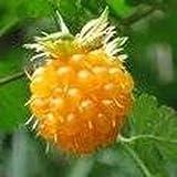 15 Seeds Salmon Berry, Salmonberry Rubus spectabilis Edible Fruit Plant