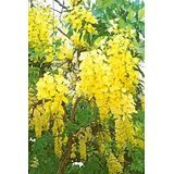 15 GOLDEN SHOWER TREE Gold Rush Yellow Cassia Fistula Flower SeedsComb S/H by Seedville