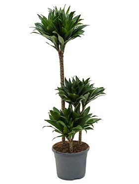 Drachenbaum, Dracaena compacta, ca. 90 cm, beliebte Zimmerpflanze, 21 cm Topf