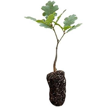 Amazoncom California Black Oak Live Tree Seedling Medium