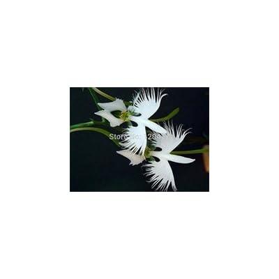 World's Rare Flower Japanese Radiata Seeds for Garden & Home Planting White Dove Orchids Seeds, 50seeds/bag : Garden & Outdoor