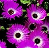 Mesembryanthemum - Gelato Dark Pink - 250 Seeds