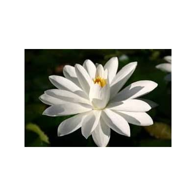 WHITE WATER LILY, WOOD'S WHITE KNIGHT SOLD AS: BARE ROOT : Garden & Outdoor