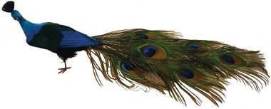 Vibrant Male Peacock with Real Feathered Closed Tail for Displays, Props, and Designing - Male Peacock