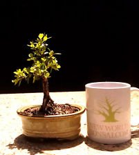 Bonsai Tree, Japanese Boxwood Bonsai tree, Mame Bonsai, Finished (Boxwood Bonsai Tree)