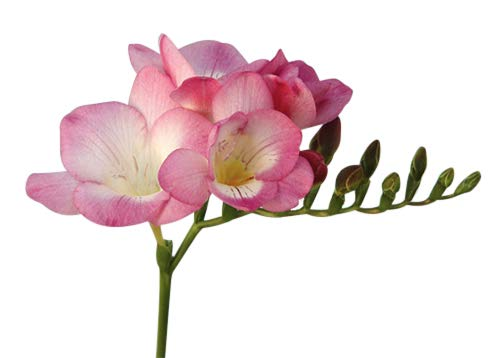12 Single Pink Freesia Bulbs - Top Size