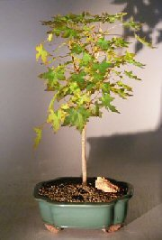 Bonsai Boy Japanese Green Maple Bonsai Tree - Large (Acer Palmatum)