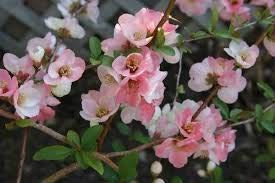 ((Liner) Toyo-NISHIKI Flowering Quince- Profuse Combinations of Pink, White and Even Sometimes red Appear on The Same Branch. Popular in Japan Due to its plentiful Blooms and Bonsai)