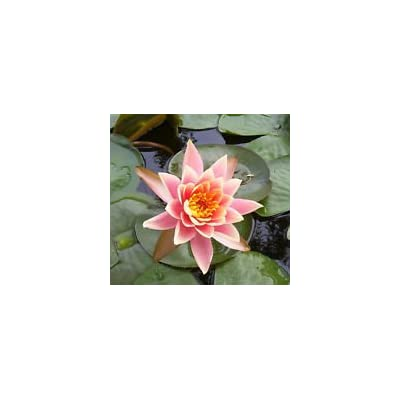 Exotic~Five Stars LOTUS Seed~1 Seed ONLY : Garden & Outdoor