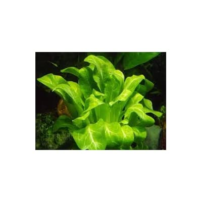 Samolus valerendi - Live Aquarium Plant: Pet Supplies