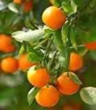 3-4 Year Old Clementine Orange Tree in 4 Gallon Grower's Pot