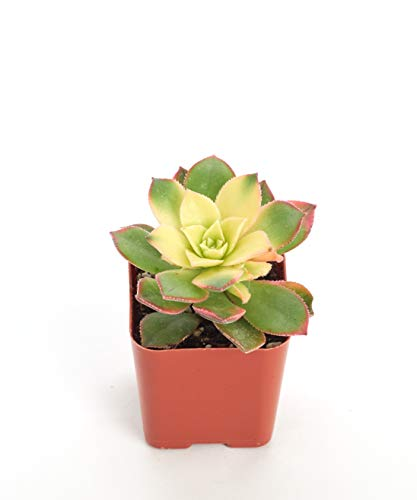 Shop Succulents Aeonium 'Kiwi' 2In Plant -