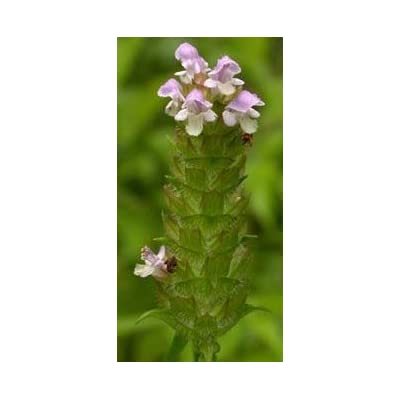 Heal All Herb (Self Heal), Cut&Sifted - Certified Organic - Prunella vulgaris (454g = One Pound) Brand: Herbies Herbs: Health & Personal Care