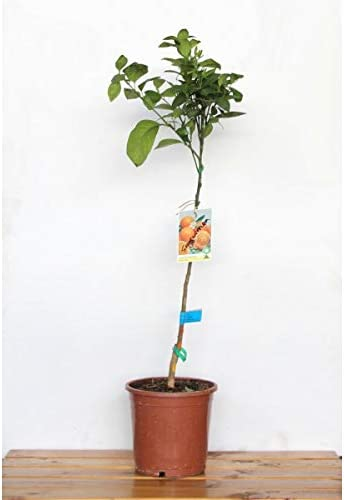 Naranjo sanguino (maceta de 25 cm Ø): Amazon.es: Jardín