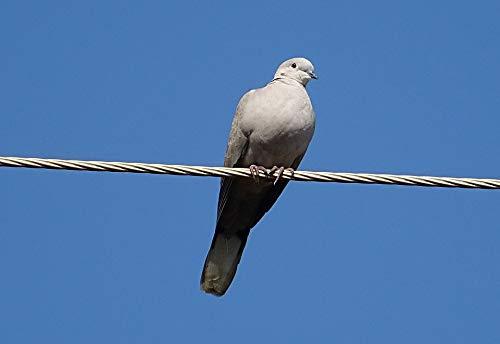 Home Comforts Laminated Poster Dove Bird Eurasian Collared Dove Vivid Imagery Poster Print 11 x 17