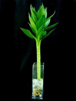 (Jmbamboo - One Piece of Lotus Lucky Bamboo in a Square Glass Vase.)