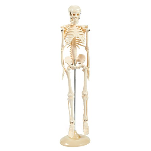 Human Skeleton Model - 17.5-Inch - Miniature Anatomical Skeleton for Tabletops, Base Mounted, Articulating, Ivory, 4 x 17.5 x 4 Inches]()