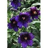 30+ Velvety Kew Blue Salpiglossis Flower Seeds / Annual