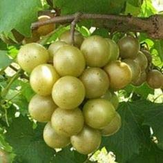 (1 Gallon) SCUPPERNONG muscadine, a large variety of muscadine that is a heavy producer, is usually a greenish or bronze color.