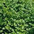Herb Seeds - Parsley Plain Leaf - 1500 Seeds