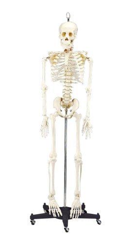 Bart Skeleton - 4