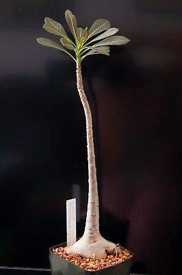 1 Adenium Socotranum Socotra Succulent Large Wide Caudex Bonsai Live Plant Tree by Adenium (Image #2)