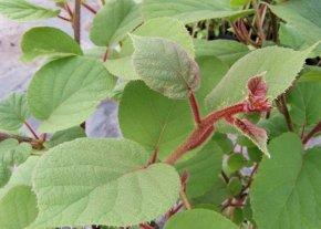 Kiwi 'Atlas - Actinidia chinensis 'Atlas' - Männliche Kiwisorte von Native Plants