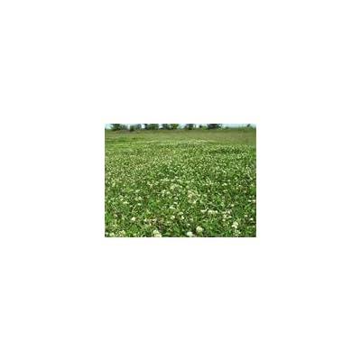 White Clover Seed 1 LB : Garden & Outdoor
