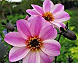 Mystic Dreamer Dahlia Flower Seeds Packaged with Instructions 50 Seeds