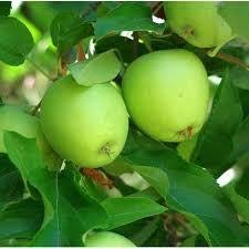 Dwarf Granny Smith Apple Tree - Worlds Most Popular Green Apple and a True Culinary Delight for Baking or ()