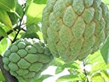 30 Seeds Noy Nah, Jumbo Annona, Giant Sugar Apple