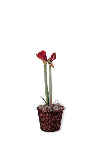 Hallmark Flowers Amaryllis Bulb In Brown Woven Basket, Red
