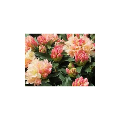 Rhododendron Golden Torch #2 Container Size Plant - Creamy Gold Blooms with a Touch of Pink! : Garden & Outdoor