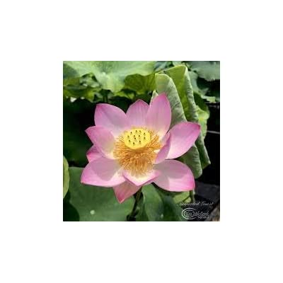 Respected Guest Live Flowering Water Garden Lotus Plant Tuber. Living Plants not Seeds. Ready to Grow & Bloom for Many Years to Come in Your Outdoor Fish Pond. Aquatic Pond Lily : Garden & Outdoor