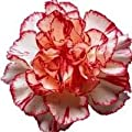 50 Avranchin RED & WHITE CARNATION Dianthus Caryophyllus Chabaud Flower Seeds *Comb S/H