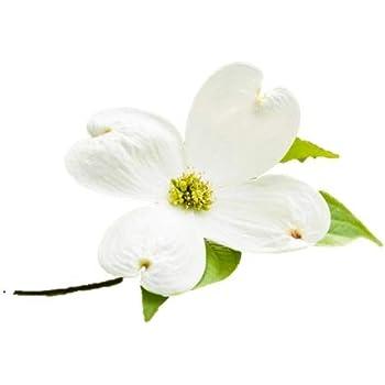 Amazoncom White Flowering Dogwood Tree Healthy Established